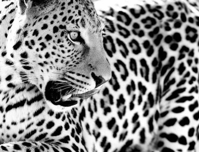 african wall art, african wildlife photograph, interior design wall art black & white photography, wildlife photos
